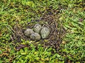 Southern Lapwing Eggs