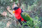 picture of lorikeets  - Colorful lorikeet looking with curiosity - JPG