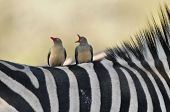 picture of ox-pecker  - Oxpeckers sitting on a Zebra - JPG
