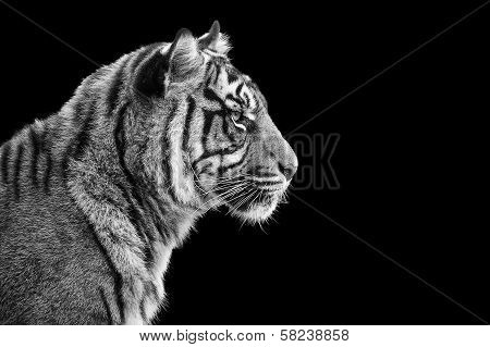 Portrait Of Sumatran Tiger In Black And White poster