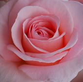 A Full Bloom Pink Rose
