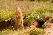pic of gopher  - Standing Gopher watching terrain in Mlada Boleslav - JPG
