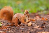 foto of hirsutes  - Ginger squirrel with nuts in Mlada Boleslav - JPG