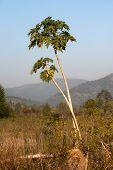 Papaya Tree.