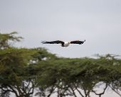 African Fish Eagle flying above the trees