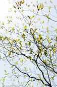 Fresh leaves and branches of dogwood (Cornus florida) and sunshine