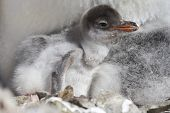 Gentoo Chick That Recently Hatched From Eggs