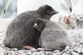Two Young Chicks In The Nest Adelie Penguin