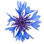 One blue cornflower flower isolated on white background