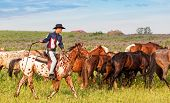 cowboy on a skewbald horse drives herd of horses