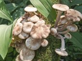 picture of agar  - honey agarics are in the wood summer - JPG