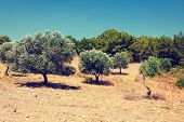 Olive Trees Under Bright Sunlight