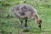 Gosling Eating