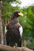 Steller Sea-eagle