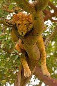 Young Male Lion Resting In A Tree