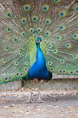 picture of indian peafowl  - Portrait of an indian peafowl (Pavo cristatus) with its tail opened