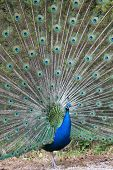 pic of indian peafowl  - Portrait of an indian peafowl  - JPG