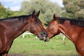 pic of playmates  - Two brown horses playing with each other