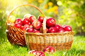 Organic Apples in a Basket outdoor. Orchard. Autumn Garden. Harvest season concept. Harvesting.  Picking red apples in summer orchard. Green Grass