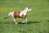 foto of paint horse  - Gorgeous paint horse mare running on springs pasturage - JPG