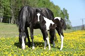 picture of mare foal  - Beautiful mare with little foal together on spring pasturage - JPG