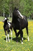 stock photo of mare foal  - Beautiful mare with little foal together on spring pasturage - JPG
