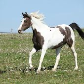 Gorgeous Spotted Horse Running On Spring Pasturage