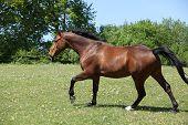 Nice Brown Horse Running On Flowered Pasturage
