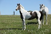 Two Horses Standing On Pasturage Together