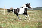 pic of paint horse  - Gorgeous paint horse running on flowered spring pasturage - JPG