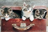 Curiosity Kittens In Suitcase