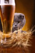 stock photo of scottish-fold  - Scottish fold cat checking out a glass of light beer