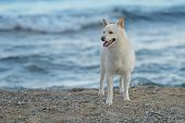 Male Shiba Inu Dog At The Beach