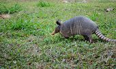 stock photo of armadillo  - Nine-Banded Armadillo in Costa Rica in green grassy field.