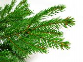 Fresh green fir branches