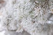 Christmas Background. Frosted Branch Of Pine