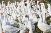 Herd of white domestic geese