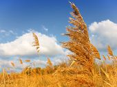 Reed and sky