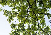 stock photo of walnut-tree  - Green branches of the walnut tree against the white cloudy sky background - JPG
