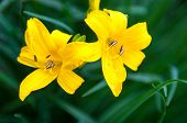 Closeup Of The Blooming Yellow Lily Flowers