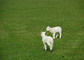 Two Lambs On A Meadow