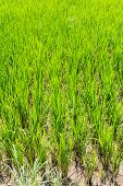 Paddy Rice Texture