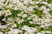 Summer meadow with the blossoming white daisies