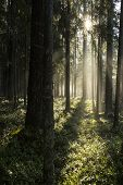 Morning sun beams in the autumn forest