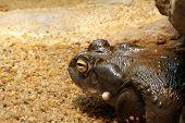 Colorado Toad