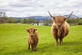 stock photo of calves  - Incredible scottish cattle with calf  - JPG