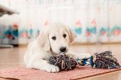 stock photo of golden retriever puppy  - golden retriever puppy playing with toy at room - JPG