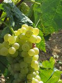 White Grapes In A Vineyard