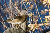 Female Wood Duck Perched On A Rock