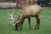 Elk grazes near Zion National Park